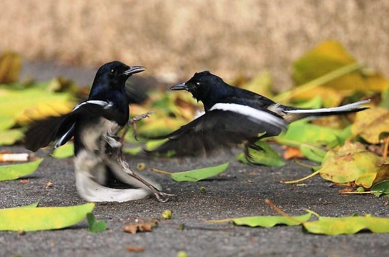 Penjodohan Burung Kacer Jantan dan Betina