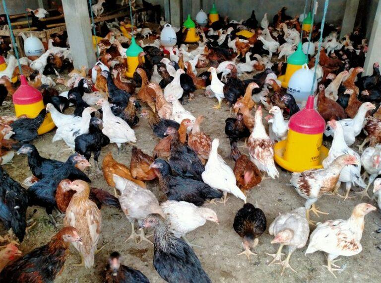 Proses Panen Ayam Kampung
