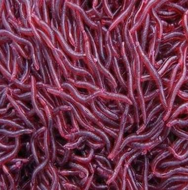 Proses Panen Cacing Merah