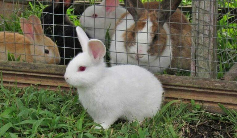 Proses Panen daging kelinci