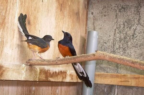 Ternak Burung Murai Batu Sistem Poligami