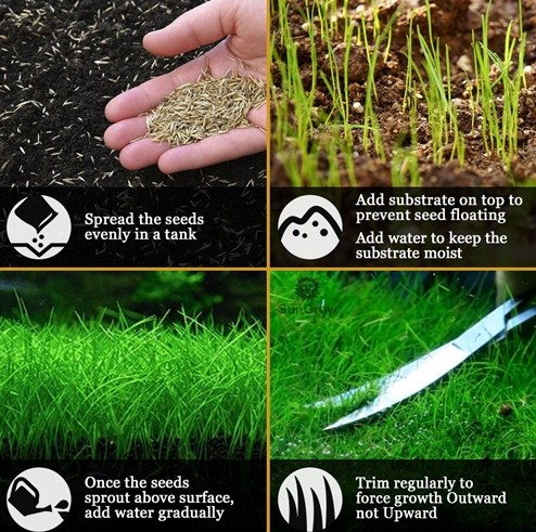 Cara Tanam Carpet Seed