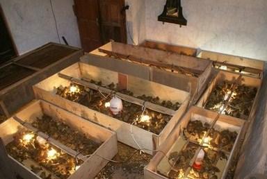 Box untuk Kandang Bebek