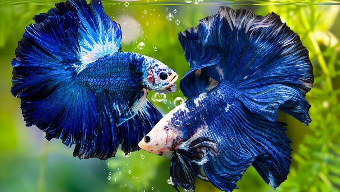 Cara Merawat Ikan Cupang