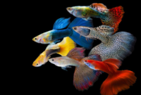 Cara Merawat Ikan Guppy