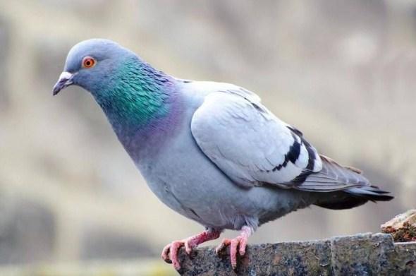 Cara Ternak Burung Merpati Di Kandang