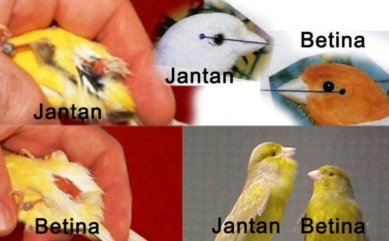 Jenis kelamin Burung Kenari Lokal