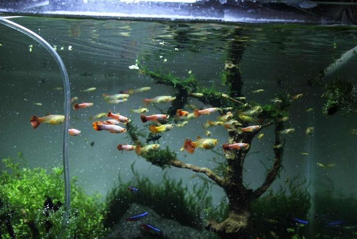 Kondisi Akuarium Ikan Guppy