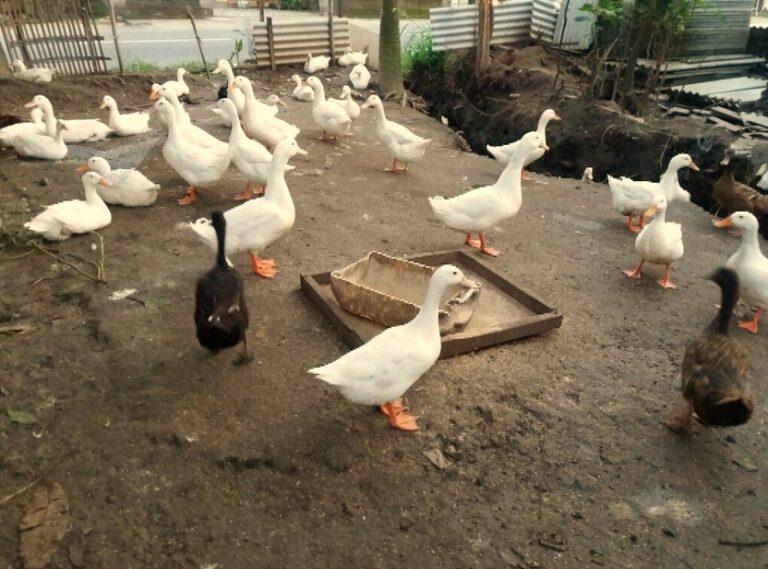 Menjaga Kebersihan Kandang Bebek