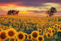 Cara Merawat Bunga Matahari Agar Cepet Berbunga Untuk Pemula