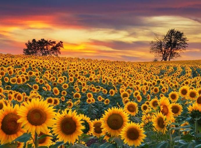 Merawat Bunga Matahari