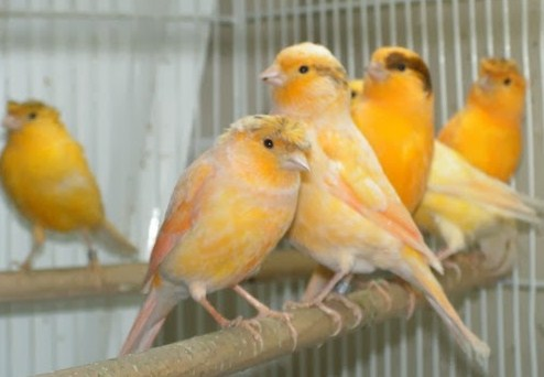 Panen Burung Kenari Lokal