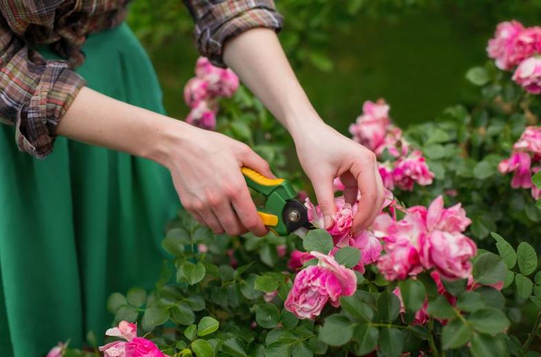 Pemangkasan Secara Rutin Bunga Mawar