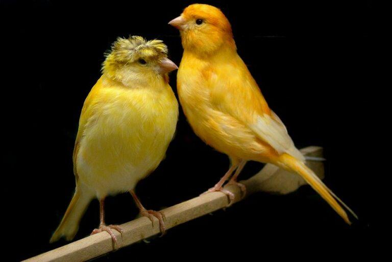 Penjodohan Burung Kenari Lokal