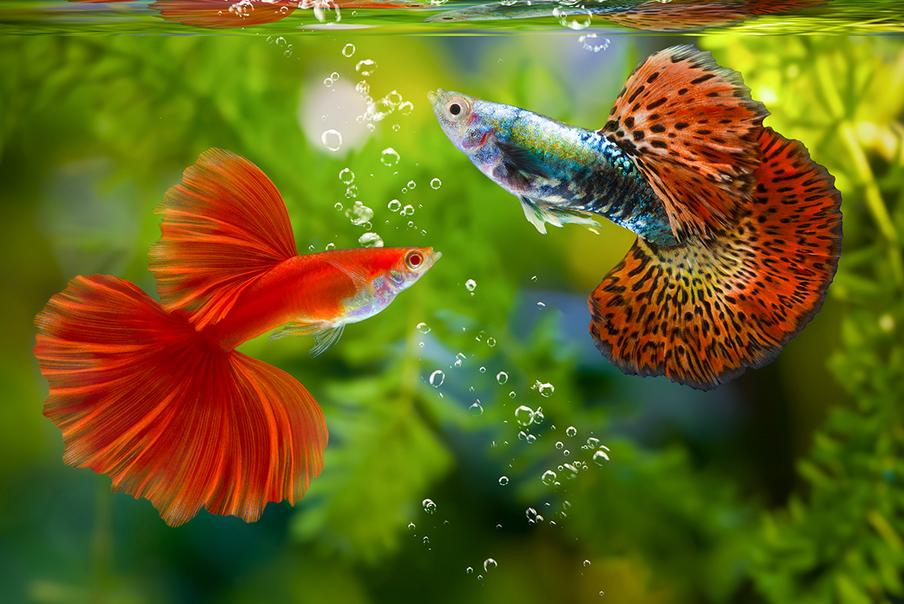 Perilaku ikan Guppy