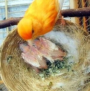 Proses Penetasan Telur Kenari Lokal