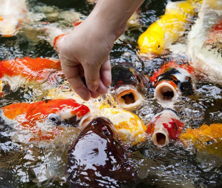 Rutin Memberi Makan Ikan Koi