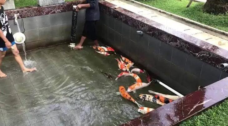 Rutin Membersihkan Kolam Ikan Koi