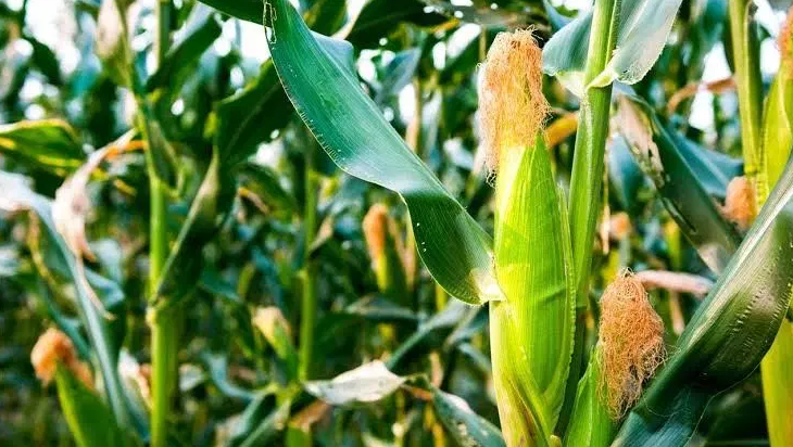 Cara menanam jagung bisi 2