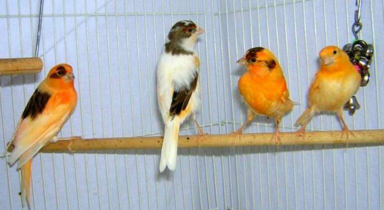 Usia Kawin Burung Kenari Lokal