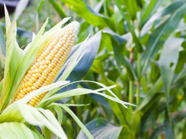 perawatan jagung