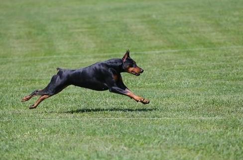 Anjing Latihan Fisik