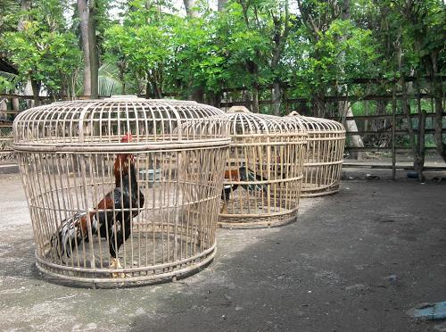 Penjemuran Ayam Bangkok
