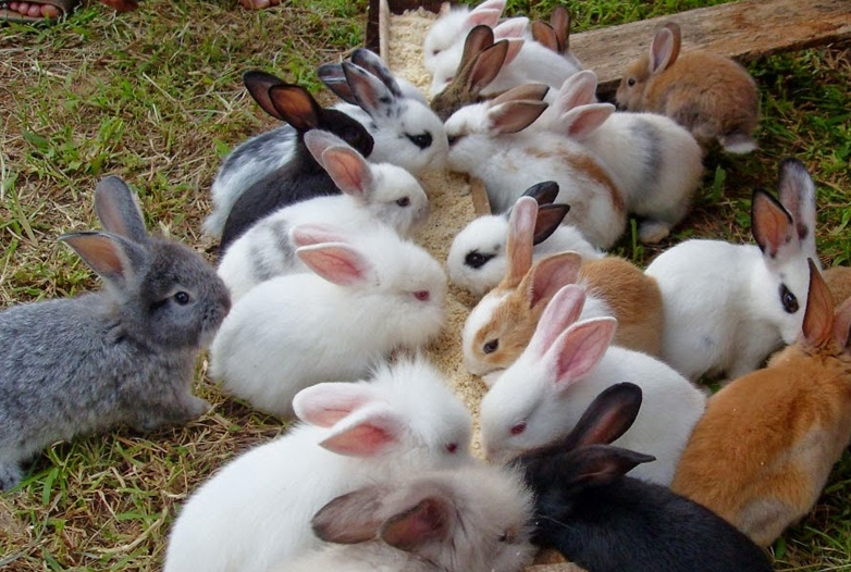 Pelihara Lebih dari Satu Kelinci
