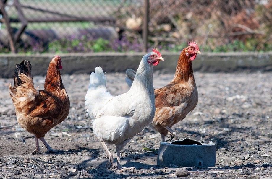 Perawatan Harian Ayam