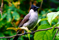 Cara Merawat Burung Kutilang