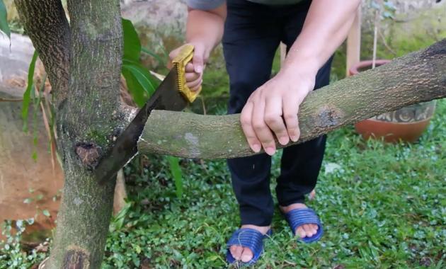 Pemangkasan Pohon Mangga
