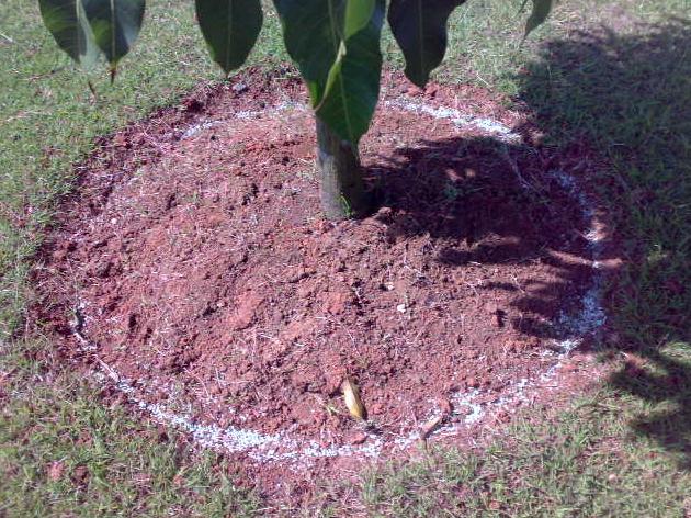 Pemberian Nutrisi Pohon Mangga