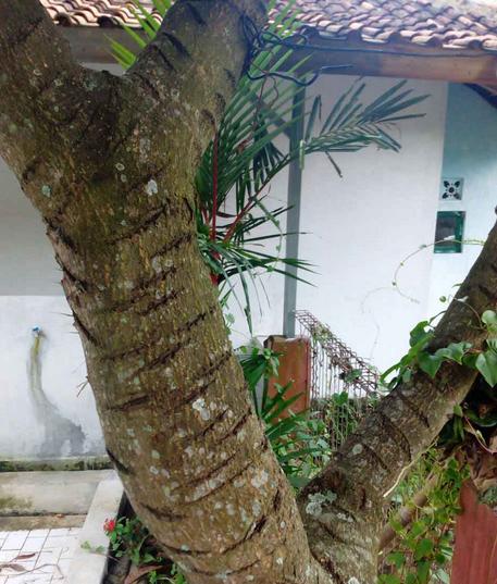 Peyesetan Pohon Mangga