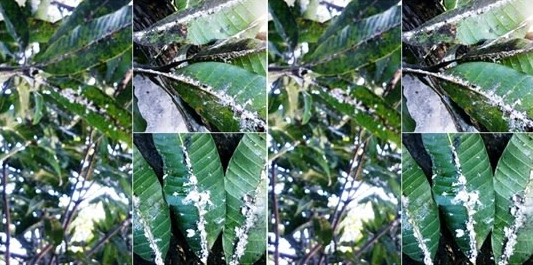 Mengusir Hama Pohon Mangga