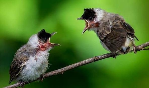 Merawat Burung Kutilang Anakan