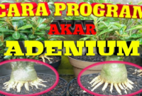 Program Akar Adenium