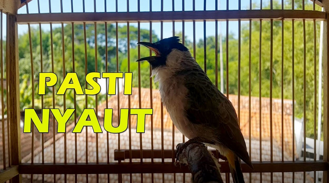 Dengarkan Suara Burung Kutilang Master