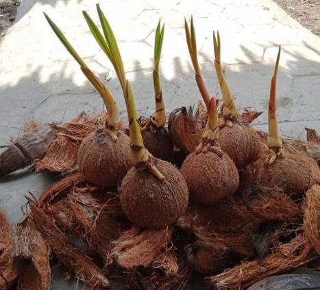 Bersihkan Sabut Kelapa Pada Batok