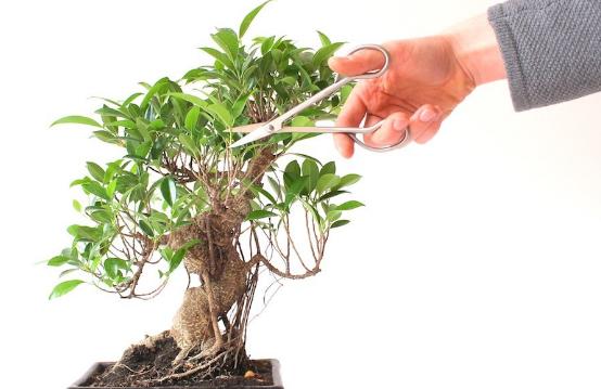 Proses Pemangkasan Bonsai Beringin