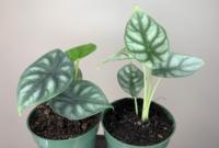 Cara Merawat Bunga Alocasia Dragon Scale