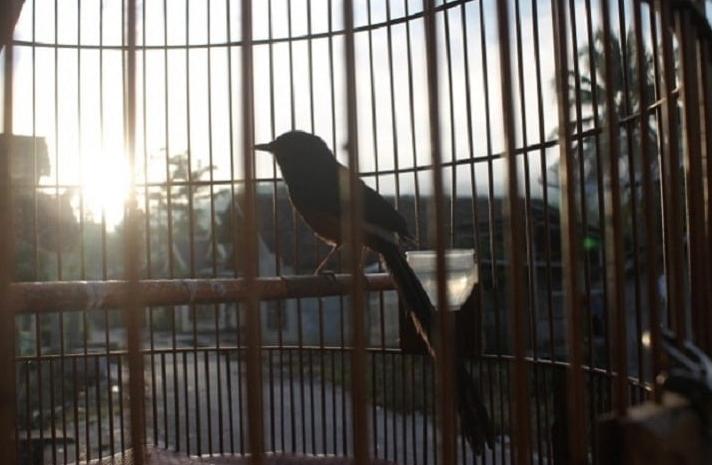 Melakukan Pengembunan Burung