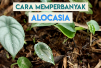 Cara Memperbanyak Bunga Alocasia