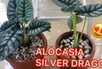 Cara Merawat Alocasia Dragon Silver