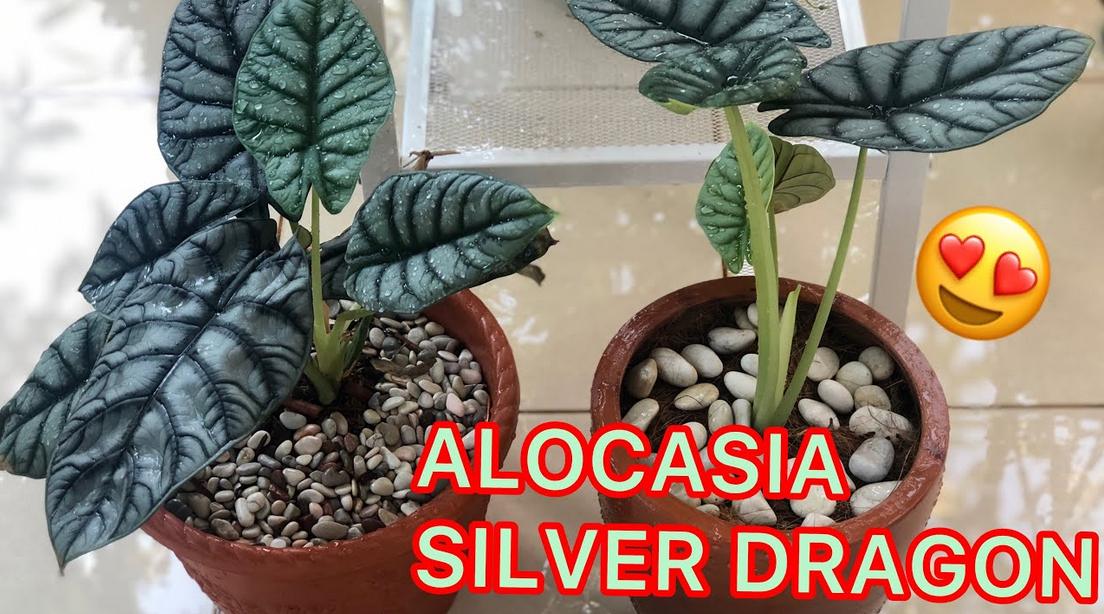 Cara Merawat Bunga Alocasia Dragon Silver