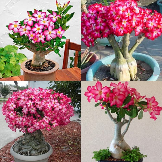 Jenis-jenis Bunga Adenium