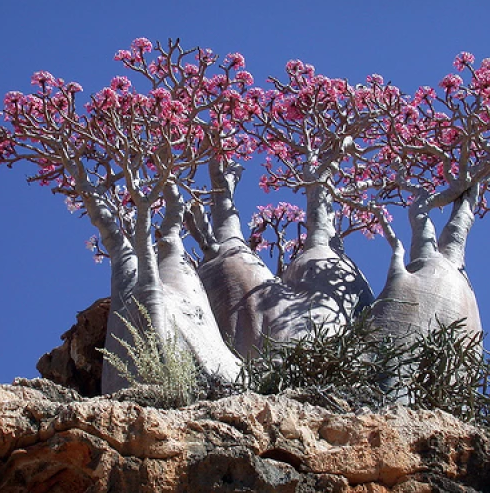 Adenium Socotranum