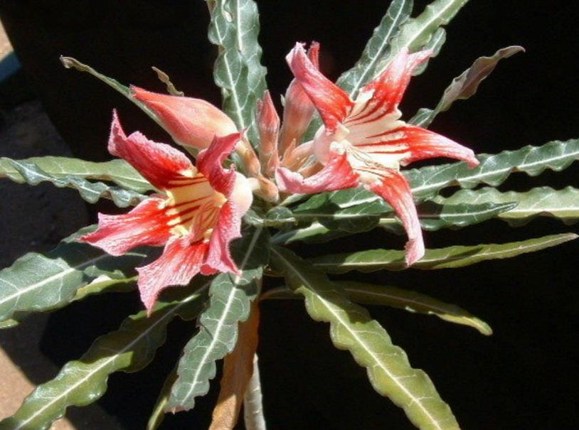 Adenium Somalense var. Crispum