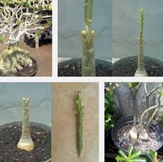 Cara Melakukan Stek Sambung Batang Bunga Adenium