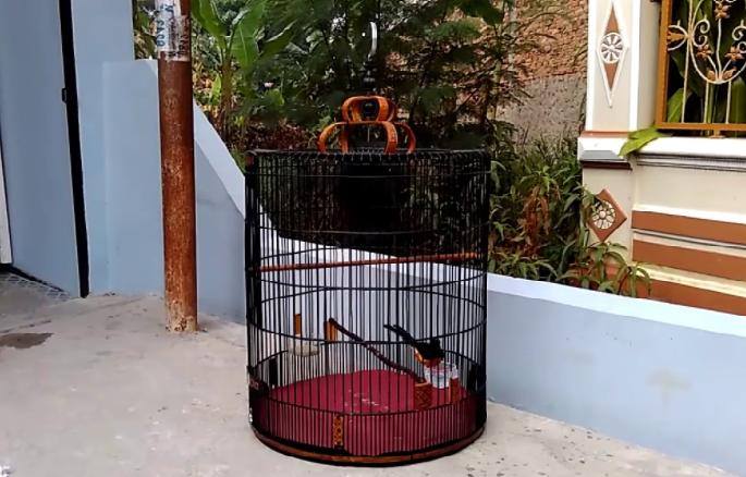 Menjemur Burung Murai