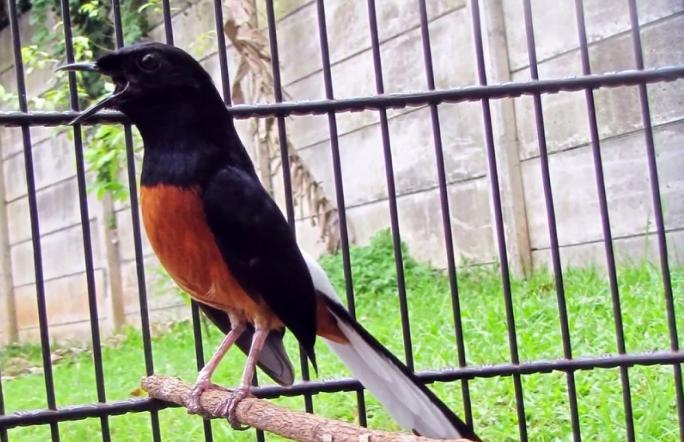Pemasteran Burung Murai
